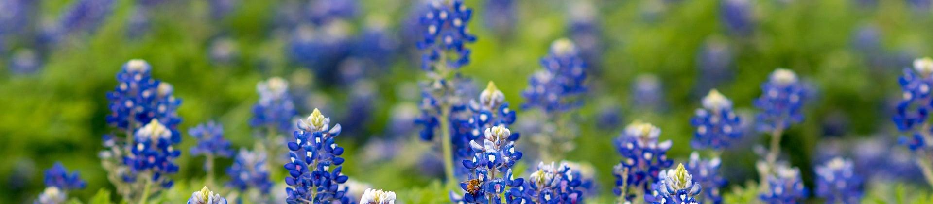 texas blue bells hero image